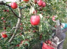 Federal food safety officials have placed an apple orchard in Nova Scotia's Annapolis Valley under quarantine after the detection of a rare pest.