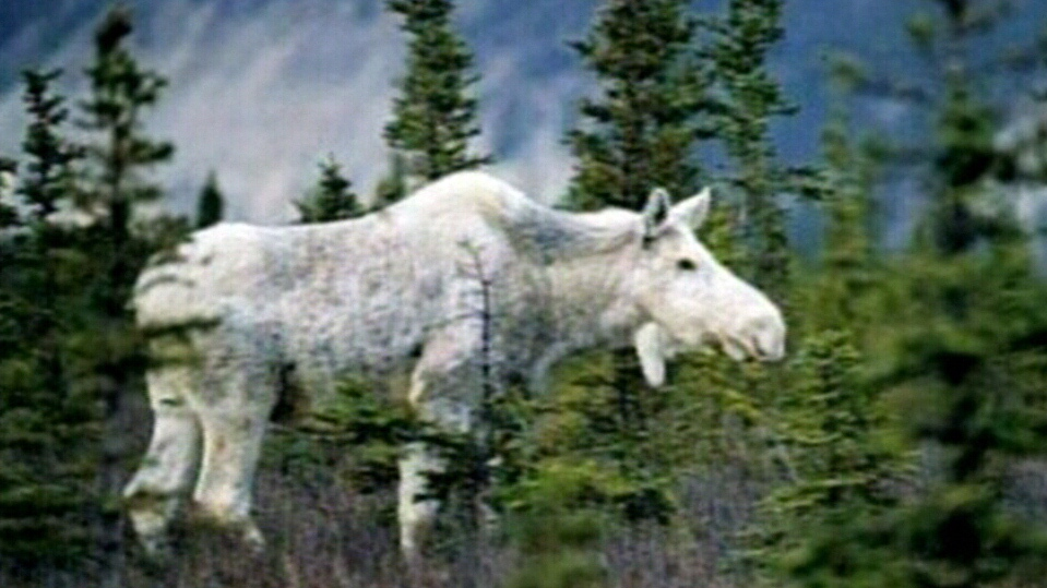 Albino moose are a sacred symbol in the Mi'kmaq community.