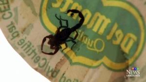 CTV Vancouver: Scorpion found in banana