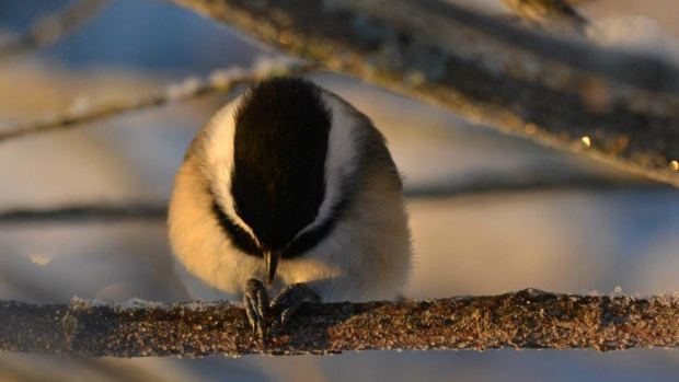 Pat House snapped this photo in Aylesford NS.  I think this chickadee was praying for the storm to miss us!  Were you?