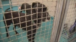 CTV Vancouver: 66 dogs and puppies seized