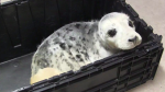 In a video screengrab, an injured grey seal pup, tentatively named Sammy, arrives at Hope for Wildlife in Seaforth, N.S., Thursday, Feb.11, 2016 after being hit by a vehicle. The facility's operator Hope Swinimer says the marine mammal was found on a road in Pictou County by an RCMP officer late Wednesday evening. (THE CANADIAN PRESS/Aly Thomson)