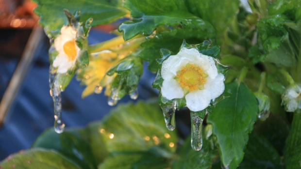 Nighttime irrigation is one way to protect plants from frost. These strawberry blossoms were saved from frost thanks to early morning irrigation.