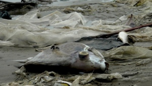 Dead fish lie on the shore in Quang Trach district, Quang Binh province, Vietnam on April 20, 2016. (Chi Nam)