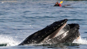 A humpback whale feeds off of West Cliff Drive near Lighthouse Point in Santa Cruz, Calif, Sept. 16, 2015. (Shmuel Thaler/Santa Cruz Sentinel via AP)