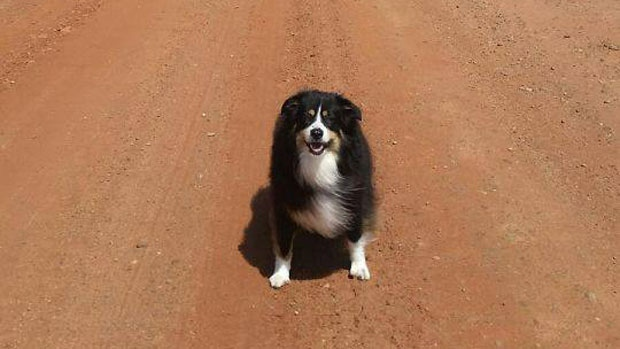 Janet's Fisher's 7 yr old Australian Shepherd Joey enjoying his walks in the only Maritime province that wasn't too hot or too dry!