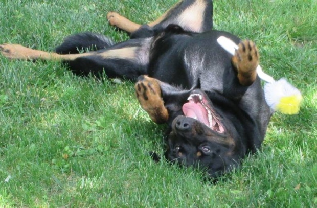 When the Dog Days of Summer get to us, maybe we should take a lesson from Sonny, the 19 month old Rottie.  Sonny lives with Jory Smith in Berwick, NS