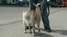 """Daisy"" is a rare breed of goat that faints when she gets scared."