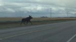 Highway moose