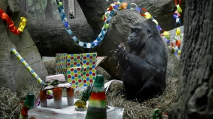 FILE - In this Dec. 22, 2015 file photo, Colo sits in her enclosure during her 59th birthday party at the Columbus Zoo and Aquarium in Powell, Ohio. (Tom Dodge/The Columbus Dispatch via AP)