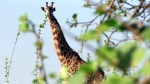 CTV National News: Giraffe numbers plummeting