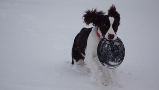 Mike Duffy's dog, Annie seems to enjoy the snow as much as I do.  She was running through about 20- cm of new snow Sunday afternoon!