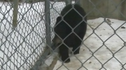"""Little Bear,"" a one-year-old bear cub, was rescued by a pair of men who found him wandering on a highway near Whycocomagh, N.S."