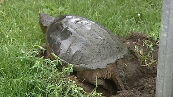 CTV Ottawa: Snapping turtle lays eggs in Lowertown