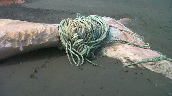 A whale carcass that washed up on the shore of Clam Bay, Nova Scotia had a long length of rope around its tail.